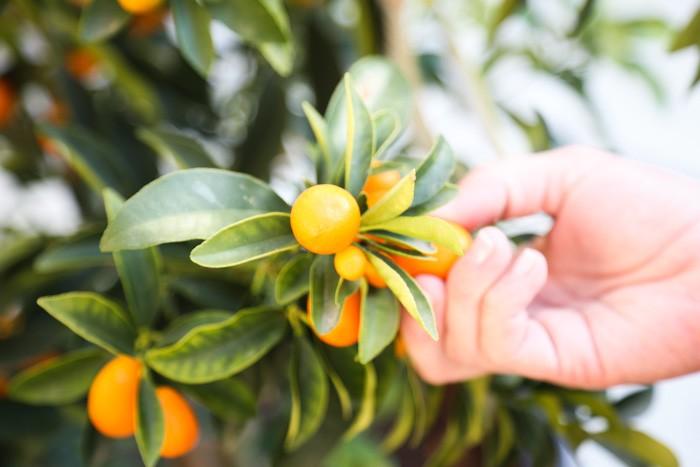 food drink  Kumquats and prosperity: Happy New Year!