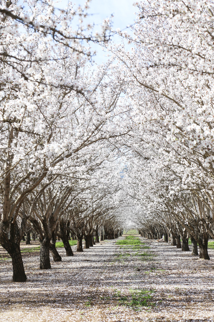 family california  Almond orchards in bloom
