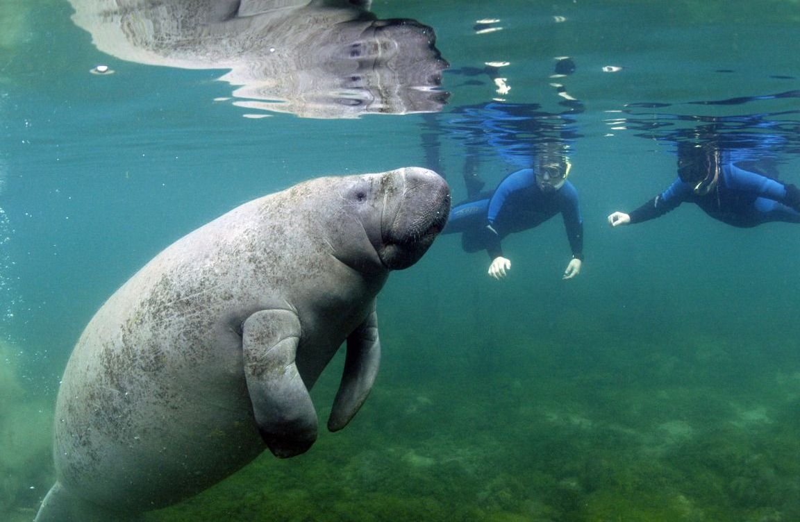 Swimming With Manatees Hither Amp Thither